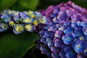 Обои Гортензия Крупным планом Цветы фото