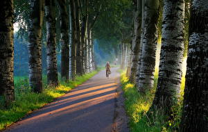 Фото Дороги Деревья Ствол дерева Березы