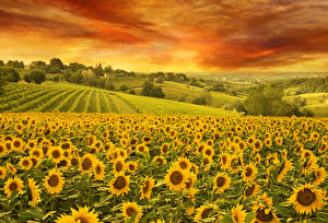 Обои Пейзаж Поля Подсолнухи Небо Природа фото