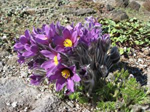 Фото Крупным планом Прострел Фиолетовый Цветы