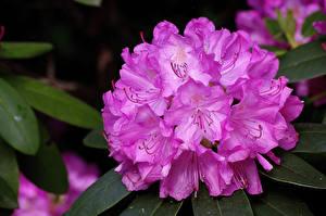 Картинки Рододендрон Крупным планом Розовые Цветы
