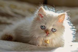 Фотография Кошки Котенок Пушистый Белый Himalayan cat животное