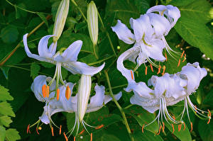 Фото Лилии Крупным планом Белый Цветы