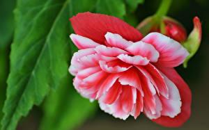 Обои Бегония Вблизи Цветы