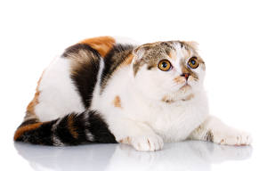 Фотография Кошка Шотландская вислоухая Смотрит Белом фоне животное