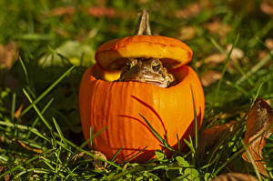 Картинки Осень Тыква Лягушки Природа