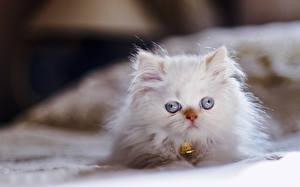 Фотографии Кошки Котят Белый Пушистый Himalayan cat животное