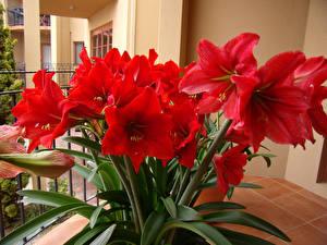 Обои Амариллис Крупным планом Красная Цветы