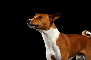 Обои Собаки Черный фон Взгляд Basenji Dog Животные фото