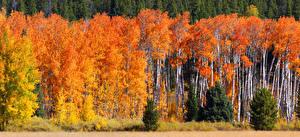 Обои Осенние Времена года Леса Деревья Березы Ель