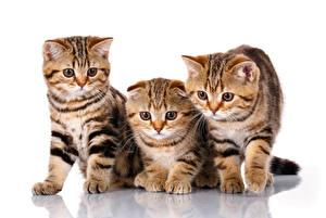 Картинка Кошки Шотландская вислоухая Котята Втроем Белый фон Животные