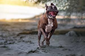 Картинки Собака Бег Боксера животное