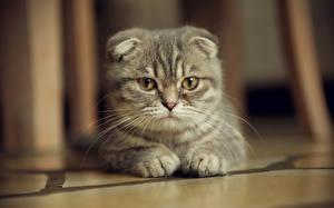 Фотографии Кошка Шотландская вислоухая Смотрят