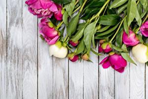 Фотографии Пионы Бутон Доски Шаблон поздравительной открытки Цветы