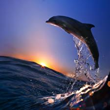 Фотография Рассвет и закат Море Дельфины Брызги животное