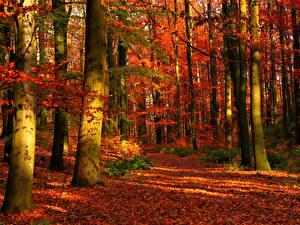 Обои Осень Леса Ствол дерева Деревья Листья Природа фото