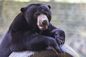 Обои Медведи Бурые Медведи Взгляд Malayan bear Животные фото