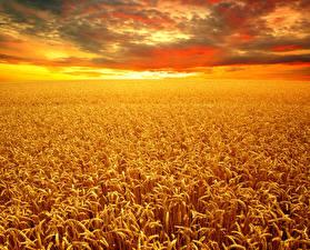 Обои Пейзаж Поля Осень Пшеница Колос Облака Природа фото