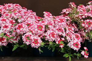 Фотографии Вербена Вблизи Розовых цветок