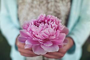 Фотографии Пионы Вблизи Розовый Цветы