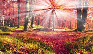 Картинка Украина Леса Осень Карпаты Деревья Листва Лучи света Ствол дерева