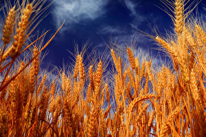 Обои Небо Крупным планом Пшеница Колоски Природа