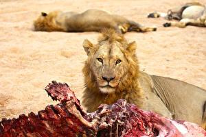 Обои Большие кошки Львы Взгляд Животные фото