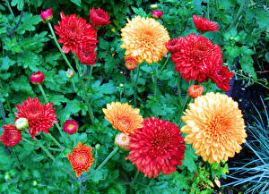 Картинки Хризантемы Крупным планом Бутон Цветы