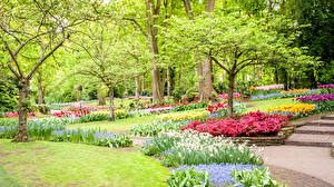 Обои Нидерланды Парки Весна Нарциссы Деревья Газон Keukenhof Природа фото