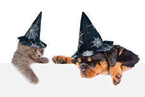 Обои Кот Собаки Хеллоуин Щенков Котят Ротвейлер Белый фон Шляпы Смешной Животные