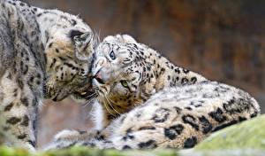 Фотография Ирбис Вдвоем ©Tambako The Jaguar животное