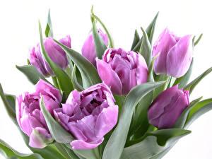 Фото Тюльпаны Крупным планом Фиолетовая Белый фон Цветы