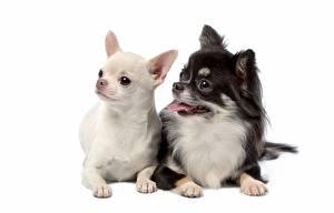 Фотографии Собаки Чихуахуа Белом фоне Двое животное