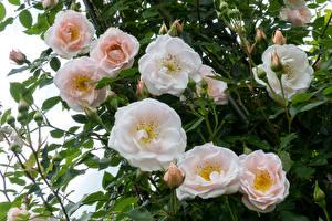 Картинка Розы Крупным планом Бутон Цветы