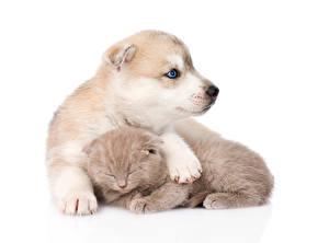 Обои Собака Кошка Хаски Щенок Котенка Две Белый фон Siberian Husky  Scottish kitten животное