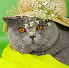Обои Кошки Морда Шляпа Серый Животные фото