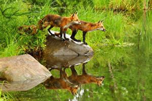 Картинка Лисица Воде Камни 2 животное