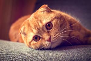 Обои Коты Скоттиш-фолд Смотрят Рыжий Усы Вибриссы