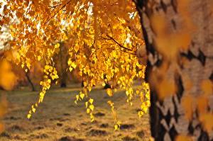 Картинки Осень Березы Листья
