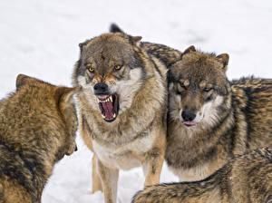 Фото Волки Злость ©Tambako The Jaguar Животные