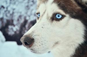 Обои Собаки Взгляд Хаски Морда Животные фото