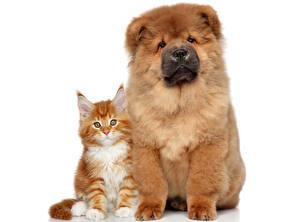 Фотографии Собаки Коты Чау Чау Белый фон животное