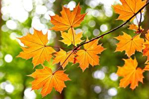 Картинки Осень Клён Ветки Листва Природа