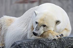 Картинки Медведи Полярный ©Tambako The Jaguar Животные