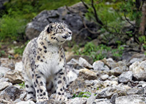 Фото Барсы Камни ©Tambako The Jaguar Животные