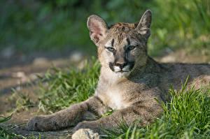 Обои Пумы Детеныши Трава ©Tambako The Jaguar Животные