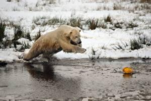 Фотография Зимние Медведи Полярный Снег Мокрые Прыжок Животные