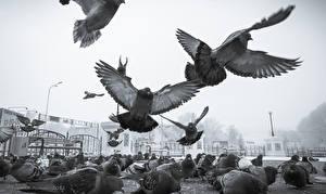 Обои Голуби Птицы Полет Yelunin Roman Животные фото