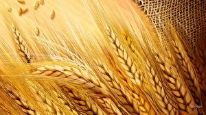 Фотографии Крупным планом Пшеница Колос Природа
