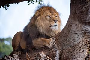 Обои Львы Животные фото